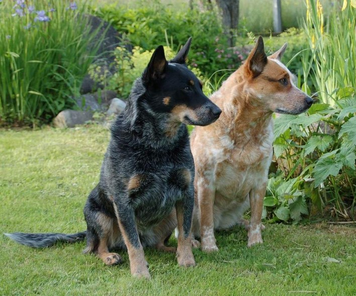 German Shepherd Protection Dogs For Sale Australia
