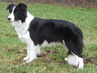 Border collie kutya