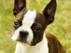 Boston terrier kutya
