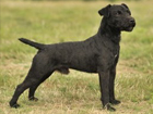 Fell, Patterdale terrier kutya