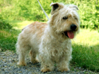 Glen of Imaal terrier kutya