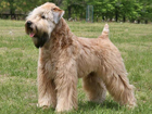 Ír Soft-coated wheaten terrier kutya