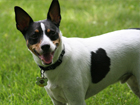Rat terrier kutya