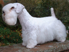 Sealyham terrier kutya