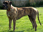 Tennessee Treeing Brindle kutya