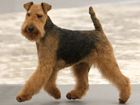Welsh terrier kutya
