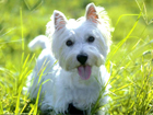 West Highland white terrier kutya