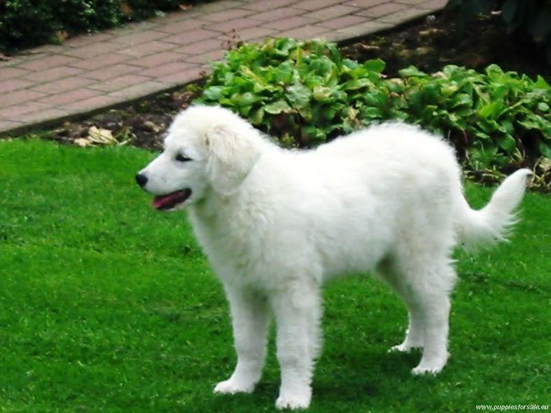 Kuvasz Puppies Price Kuvasz kutya