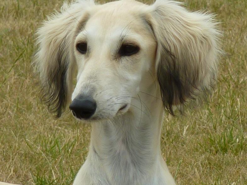 Собака салюки фото 3