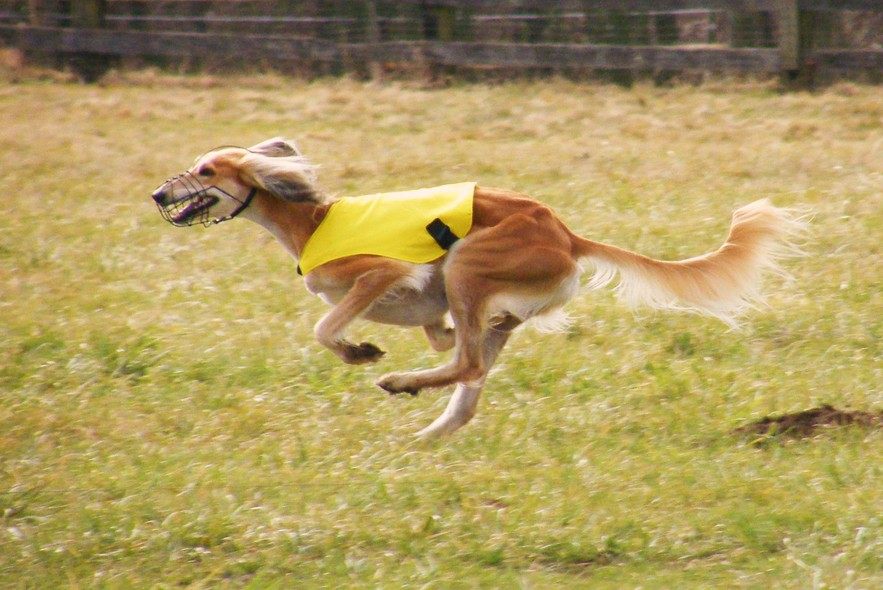 Собака салюки фото 7